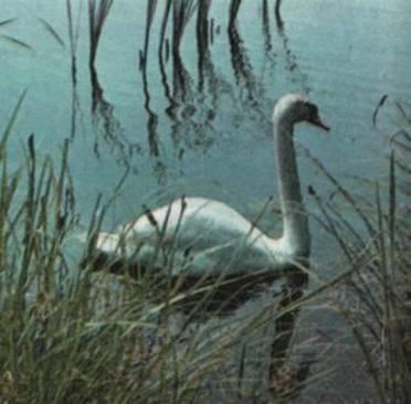 Название: Лебедь-шипун.jpg Просмотров: 76  Размер: 20.0 Кб